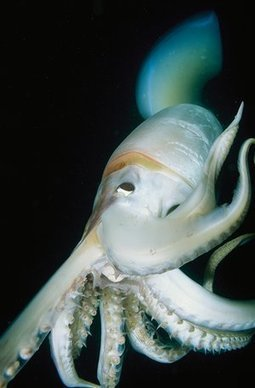 Squids and octopuses thrive as 'weeds of the sea' warm to hotter oceans | GarryRogers Biosphere News | Scoop.it