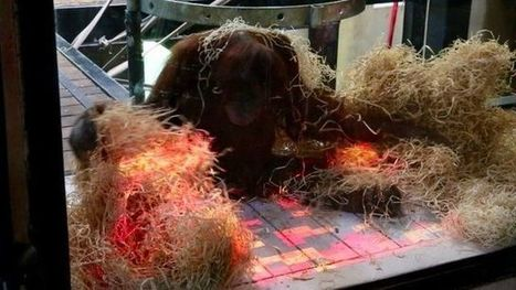 Orangutans try out motion-controlled games in Australia - CBBC Newsround | Science And Wonder | Scoop.it