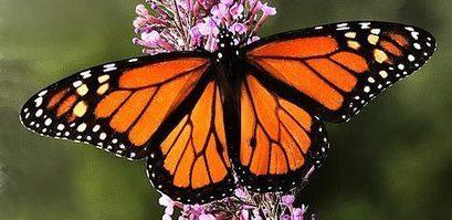 La Mariposa Monarca no está en peligro de extinción, sino su proceso migratorio (VIDEO) | Canal Azul 24 | Agua | Scoop.it
