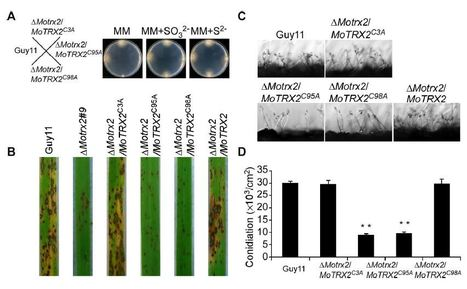 The thioredoxin MoTrx2 protein mediates ROS balance and controls pathogenicity as a target of the transcription factor MoAP1 in Magnaporthe oryzae   Rice Blast   Scoop.it
