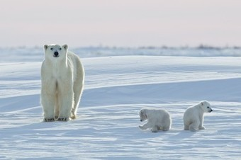 Annual Polar Bear Migration Under Way: How it Works and How Climate Change is Altering It | Geography in the news | Scoop.it