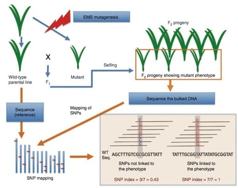 Nature Biotechnology: Genome sequencing reveals agronomically important loci in rice using MutMap | MutMap | Scoop.it