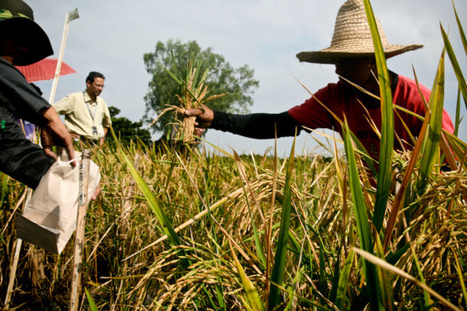 Golden Rice: Fool's gold or golden opportunity? | Mr. Isaacs Biology | Scoop.it