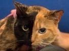 El misterio de la gata de dos caras -- National Geographic | animals are in everywhere | Scoop.it