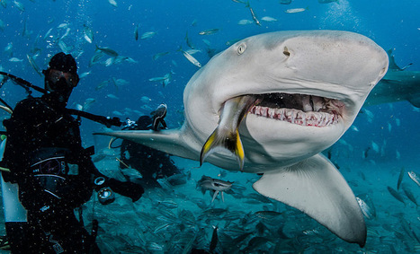 Are Shark Feeding Dives Acceptable? | All about water, the oceans, environmental issues | Scoop.it