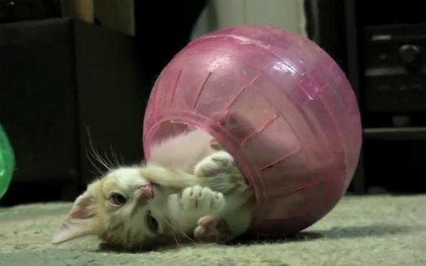 Jouer avec le chat : un acte important ! | Edenzo - L'information et l'actualité des chiens et chats | Edenzo.com | Scoop.it