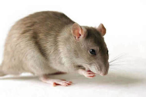 Yoruba genetically immune to Lassa fever virus? | Virology News | Scoop.it