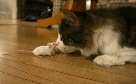 Parasites make mice lose fear of cats permanently, even after Toxoplasma infection is cleared | Brainfriendly, motivating stuff for ESL EFL learners | Scoop.it