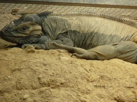 Photo de reptile : Iguane cornu d'Haïti - Cyclura cornuta - Iguane rhinocéros - Rhinoceros Iguana | Fauna Free Pics - Public Domain - Photos gratuites d'animaux | Scoop.it