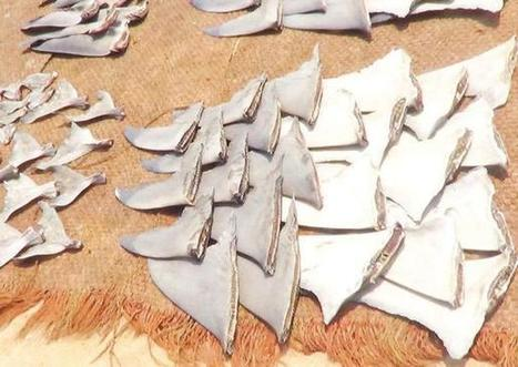 Fishy business: Chennai emerges as hub for illegal shark fin trade | Global Aquaculture News & Events | Scoop.it