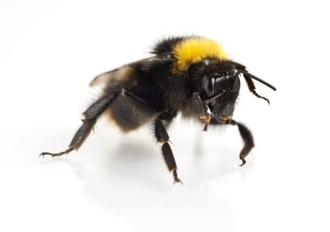 'Trojan hives' carry parasites to native bees - Conservation | phytopharmaceuticals, pollinators, biodiversity | Scoop.it