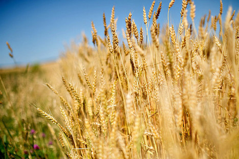 Scientists Unswayed by Monsanto Findings on Rogue Wheat | Plant Based Transitions | Scoop.it