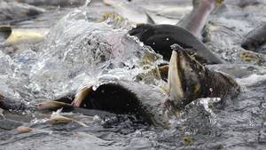 U.S. fishery disaster adds to drought woes | Sustain Our Earth | Scoop.it