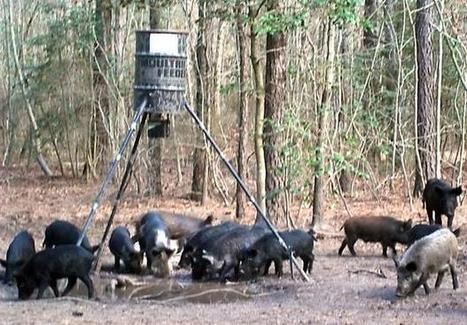NC's wild boars destructive but tasty | Outdoors | NewsObserver.com | North Carolina Agriculture | Scoop.it
