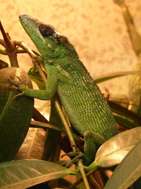 Photos de reptiles : Anole chevalier - Anolis equestris - Anolis arboricole - Knight Anole | Fauna Free Pics - Public Domain - Photos gratuites d'animaux | Scoop.it