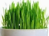 Traditional Home Remedies: The Potential Health Benefits of Wheatgrass | Herbs and Health | Scoop.it