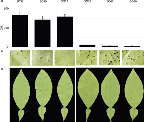 Rapid screening for citrus canker resistance employing pathogen-associated molecular pattern-triggered immunity responses | Plant-Microbe Interaction | Scoop.it