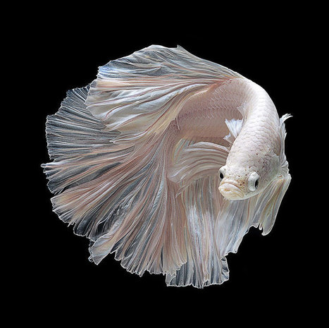 The Flowing Fins of Siamese Fighting Fish | xposing world of Photography & Design | Scoop.it