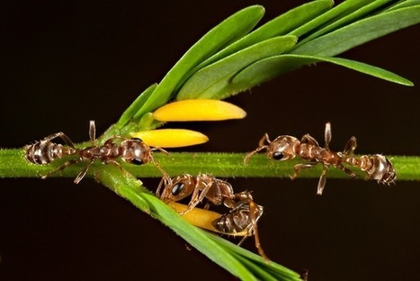 Symbiose : les fourmis qui protègent les acacias profitent d'une récompense exclusive   EntomoNews   Scoop.it