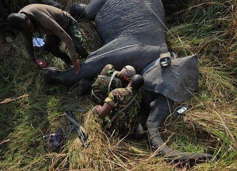 Le Congo-Kinshasa a démantelé un important réseau de trafic d'ivoire   Biodiversité   Scoop.it