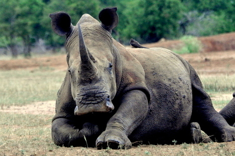 Rhino Fridays: How Swaziland Protects its Wildlife | What's Happening to Africa's Rhino? | Scoop.it