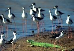 Palo Verde National Park, Costa Rica- Birds, crocodiles, monkeys, iguanas | costaricalearn | Scoop.it