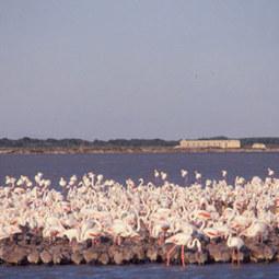 Pourquoi les flamants ont-ils déserté cette année l'étang du Fangassier ? | Ornithomedia.com | Tourisme en Provence Pays d'Arles | Scoop.it