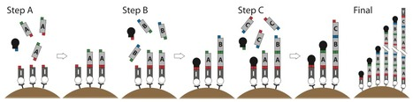 Iterative capped assembly: rapid and scalable synthesis of repeat-module DNA such as TAL effectors from individual monomers   SynBioFromLeukipposInstitute   Scoop.it