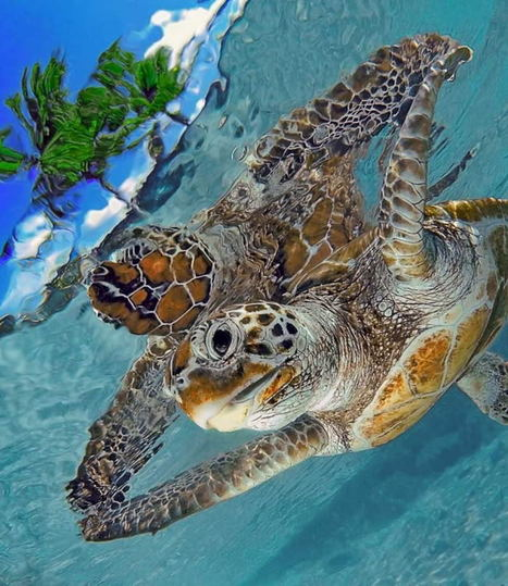 The Future Of Sea Turtles | OUR OCEANS NEED US | Scoop.it