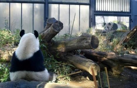 Un bébé panda à Tokyo ? Shin Shin et Ri Ri vont tenter leur chance | Biodiversité | Scoop.it