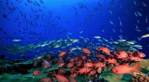 Mass coral death drives efforts to identify resilient reefs | In Deep Water | Scoop.it