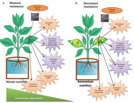 Moving nitrogen to the centre of plant defence against pathogens | Rice Blast | Scoop.it