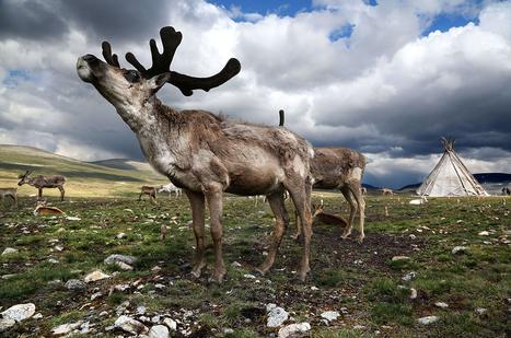Le réchauffement climatique a entraîné la libération d'une bactérie mortelle, en Sibérie. 2.300 rennes sont morts, ainsi qu'un enfant de 12 ans | Ca m'interpelle... | Scoop.it