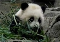 Giant panda cub delights fans at Smithsonian's National Zoo   Lolita Dress   Scoop.it