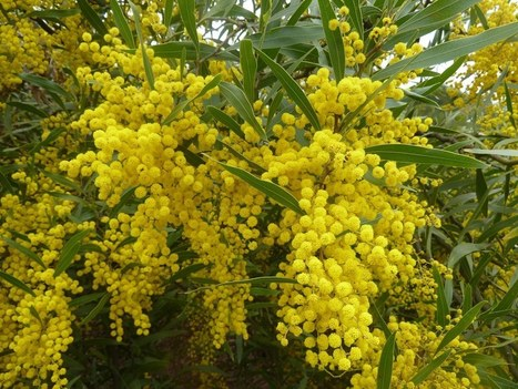 Efficiency prevails - why wattles rule | Australian Plants on the Web | Scoop.it