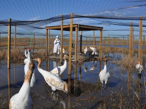 Rare whooping crane making a comeback | Agua | Scoop.it