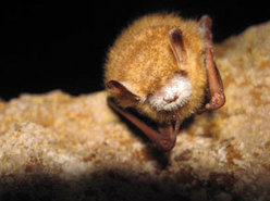 Smokies area closed to protect bats - Smoky Mountain News | Bat Biology and Ecology | Scoop.it
