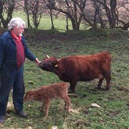 Smallest cow in the world gives birth to calf on St Patrick's day - Irish Independent | Life as a cow | Scoop.it