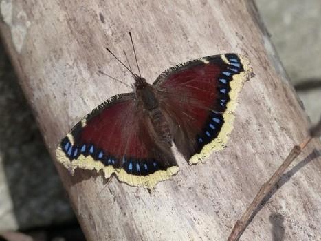 Photo de Papillon : Morio - Nymphalis antiopa - Mourning Cloak - Camberwell Beauty   Fauna Free Pics - Public Domain - Photos gratuites d'animaux   Scoop.it