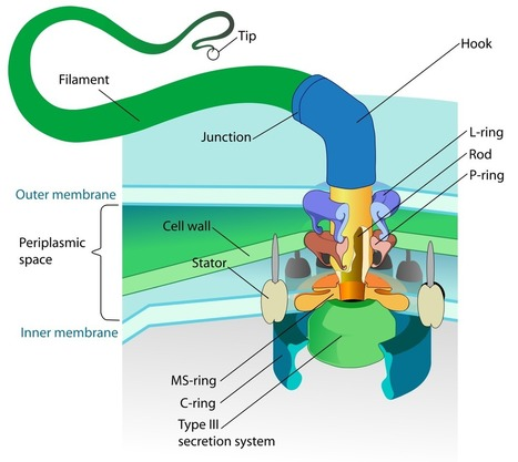 Bacterial Motors Come in a Dizzying Array of Models | The Artful Amoeba, Scientific American Blog Network | Media Cultures: Microbiology in the news | Scoop.it