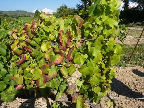 Contre la flavescence dorée, des vignerons se mobilisent pour éviter les pesticides | Les colocs du jardin | Scoop.it