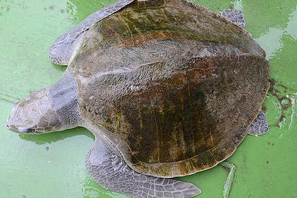 "Turtle rescued in polluted Manila Bay (""what's wrong with this headline?"") 