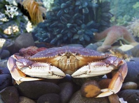 Ocean acidification puts Dungeness crab fishery at risk | Farming, Forests, Water, Fishing and Environment | Scoop.it