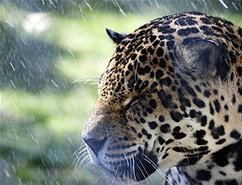 Dwindling jaguar population facing extinction | Gaia Diary | Scoop.it