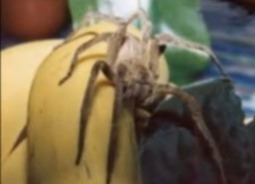 Brazilian Wandering Spider Colony Hiding In Bananas In British Supermarket | InsectNews | Scoop.it