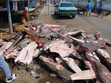 Study says sharks/rays globally overfished | Sustain Our Earth | Scoop.it