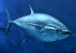 FIJI: Climate impact on tuna | Oceania Hoy! Diario Nacional | Scoop.it