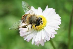 Honey Bee Decline Due to 'Complex' Multiple Factors | Environment News Service | Environmental | Scoop.it