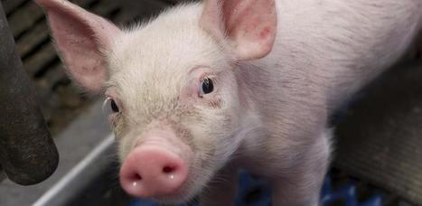 Porcins / bovins / caprins : L'Efsa révise les teneurs en cuivre des aliments pour animaux | Animal Nutrition Spotlight | Scoop.it