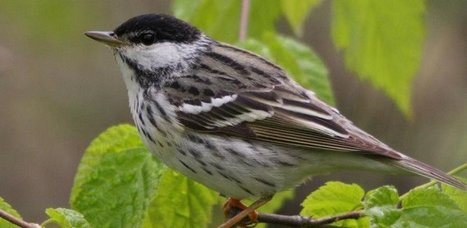 L'un des plus longs voyages directs au-dessus de l'eau enregistrés pour un oiseau chanteur | Biodiversité | Scoop.it